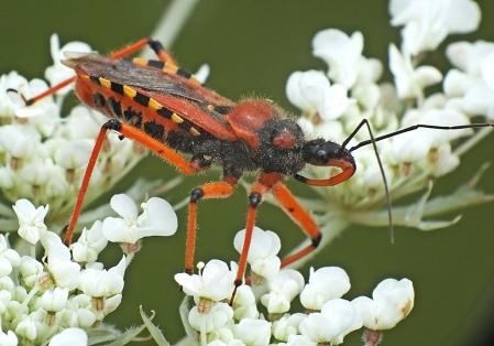 R.iracundus