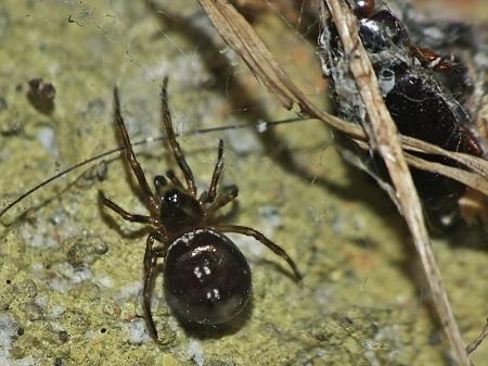 S.bipunctata