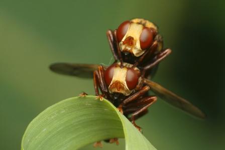 S.ferrugineus