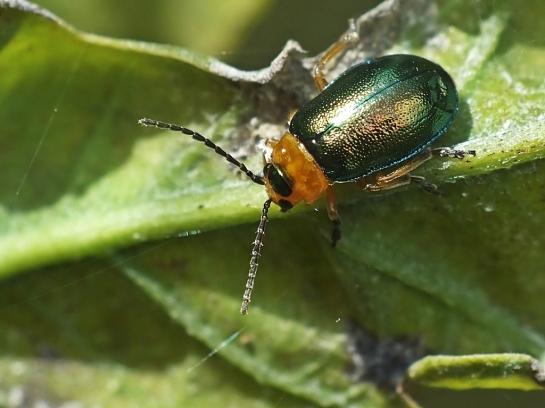 S.halensis