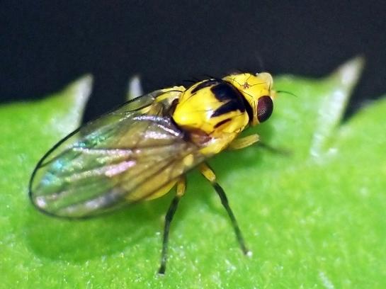 Liriomyza.