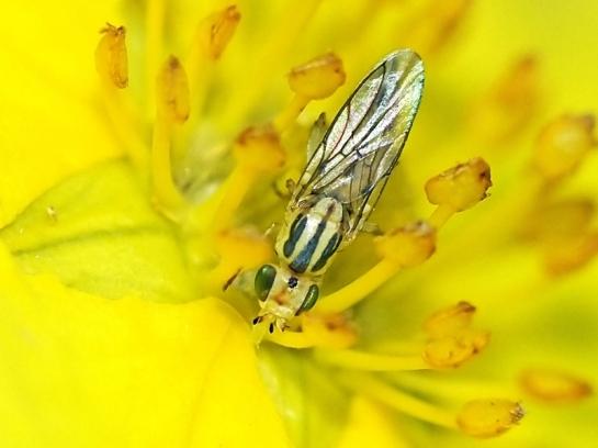 Meromyza species.