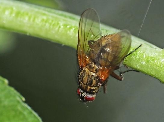 P.angelicae