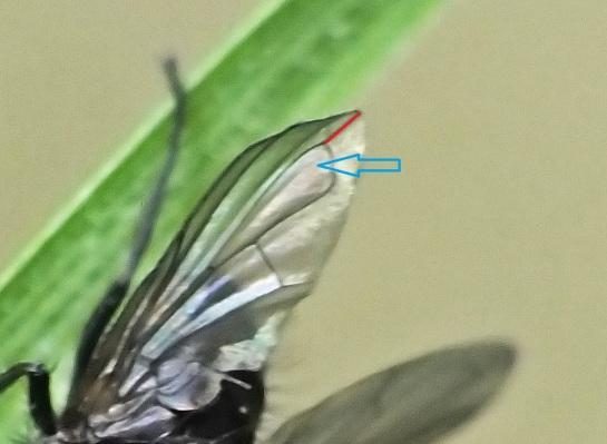 R. fasciata wing