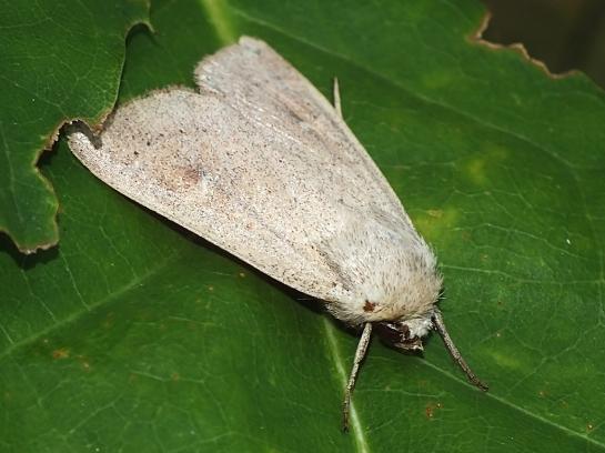 R.lutosa