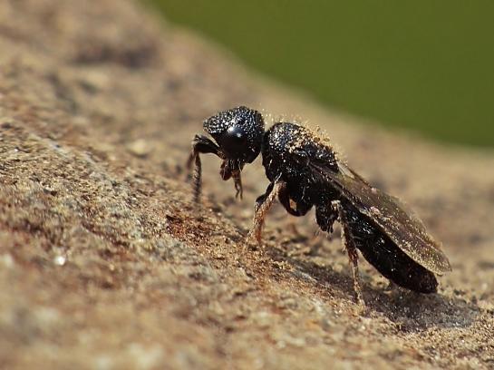 Sparasion species