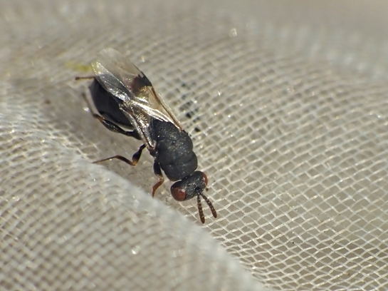 Sycophila