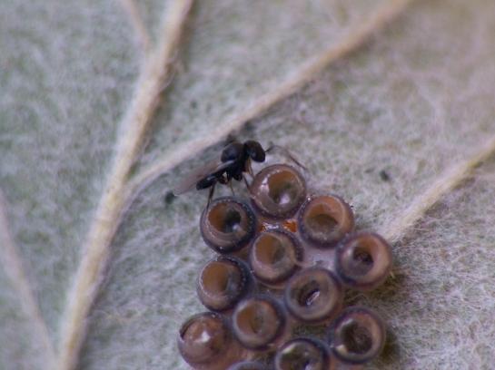 Trissolcus species