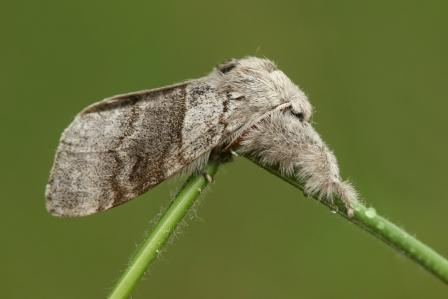 C.pudibunda