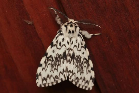 L.monacha female