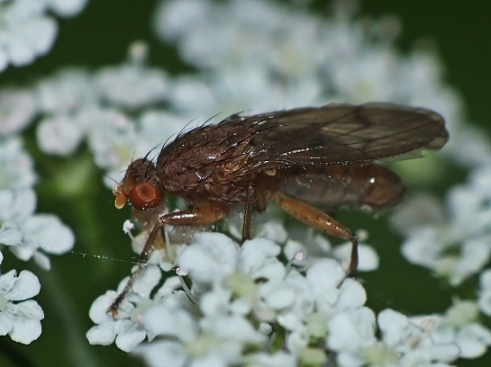 S.affinis