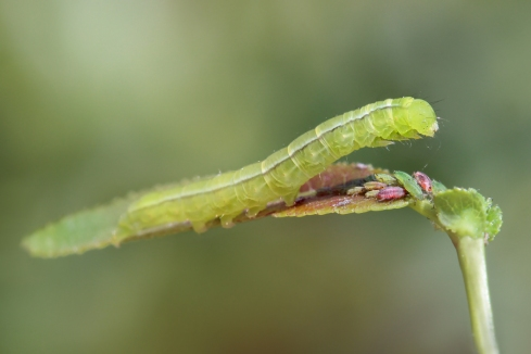 S.libatrix