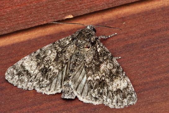 S.megacephala
