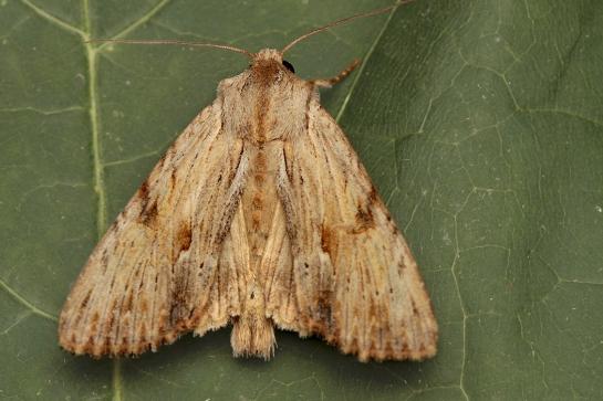 A.lithoxylea