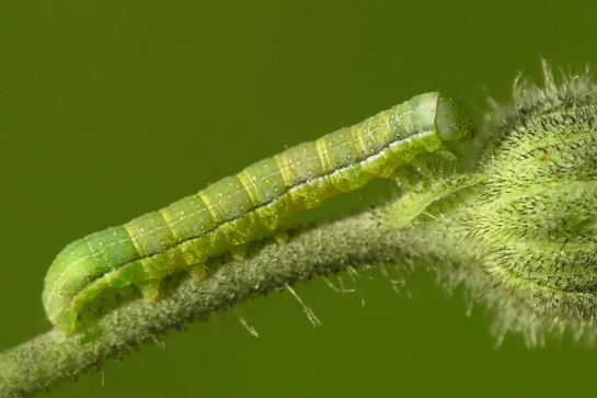 A.litura