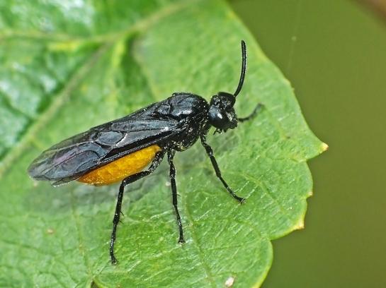 A.pagana