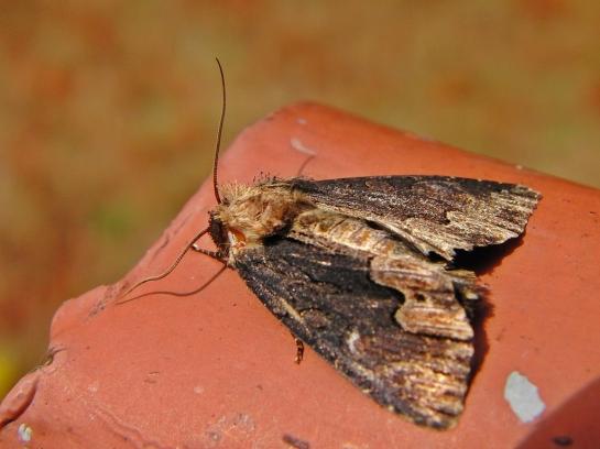 D.scabriuscula