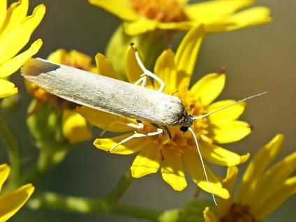 E.lutareella