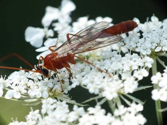 E.merdarius