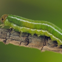 Diprionidae - Borecznikowate