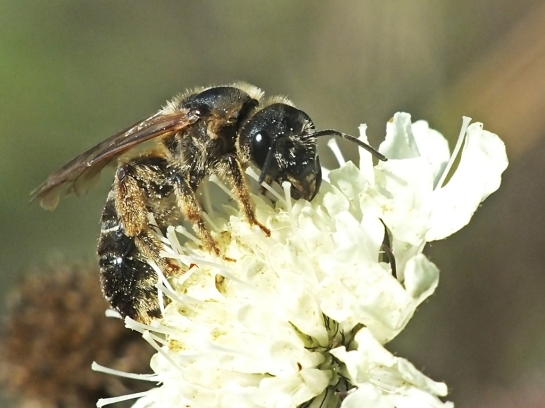 H.maculatus