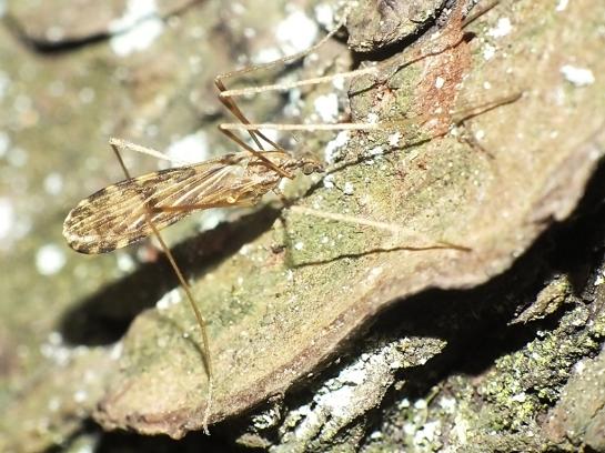 I.maculata