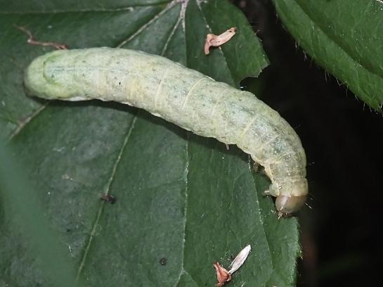 M.brassicae caterpillar