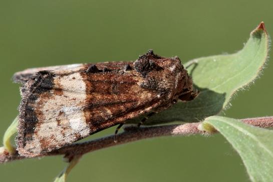 M.furuncula