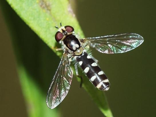 M.guttata
