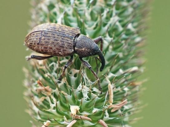 N.scirpi