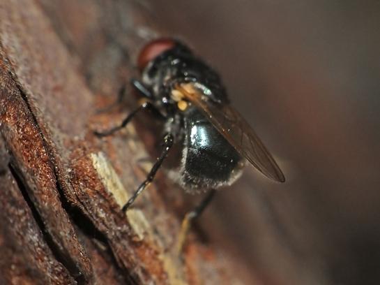 psilota-species