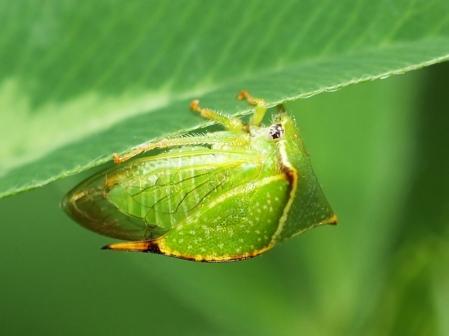 S.bisonia