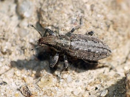 S.griseus