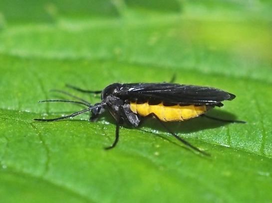 S.hemerobioides