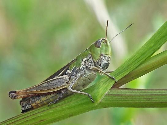 S.lineatus