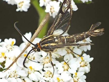 S.triannuliformis