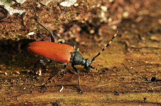 S.variicornis
