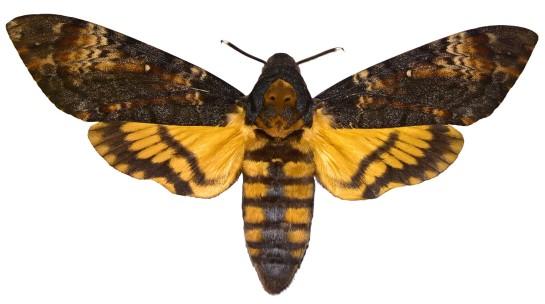 A.atropos