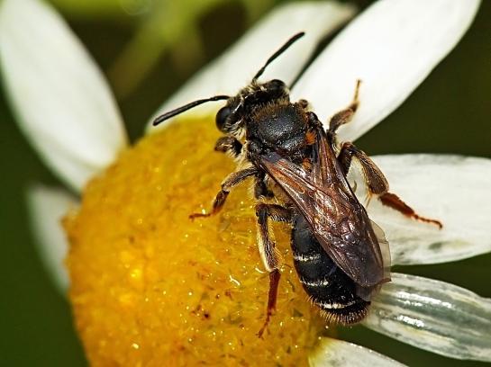 A.dorsata