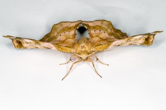 A.syringaria
