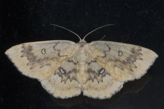 C.annularia