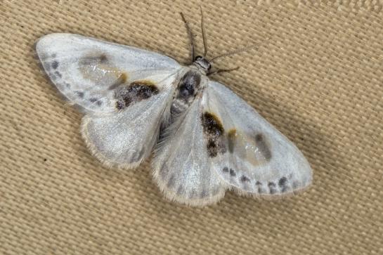 C.glaucata