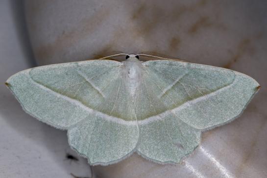 C.margaritata