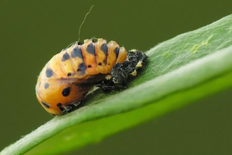C.septempunctata