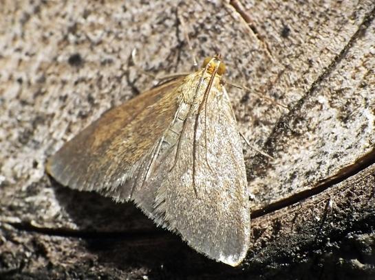 E.aenealis