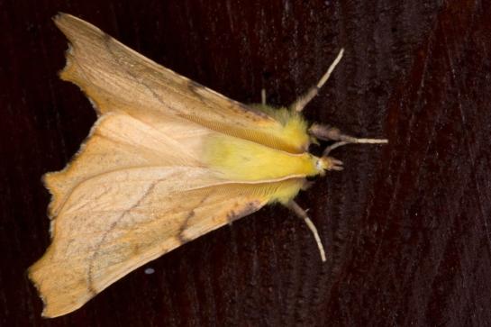 E.alniaria.