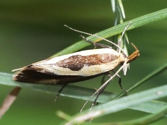 H.forficella