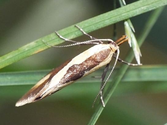 H.forficella.
