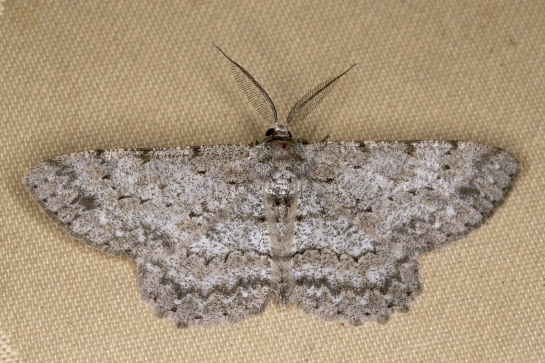 H.punctinalis