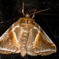 Habrosyne pyritoides - Pluszówka agatka